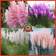 2000pcs New Rare Impressive Purple Pampas Grass Seeds Ornamental For Home Garden