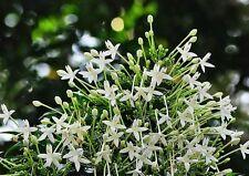 20 seed white Cork Tree Indian Cork Millingtonia hortensis Peep Flowers seeds