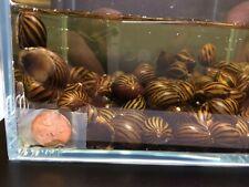 10 Zebra Nerite Snail