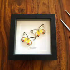 Delias Periboea Butterfly Pair in Box Frame (Java, Indonesia)  insect taxidermy