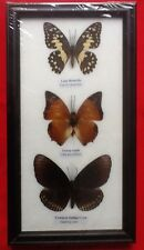3 REAL BUTTERFLIES LIME BUTTERFLY TAXIDERMY INSECT PICTURE FRAME RAJAH CROW