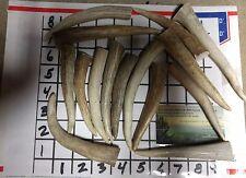 "16 Elk Deer Antler Tips Tines Native Jewelry Craft Antler CLEAN TIPS 4-5"""
