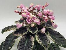 LE-Leila~African Violet~Plant NEW 2017,Longifolia~Ukrainian/Russian Variety