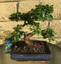 "Fujian (Fukien) Tea Blooming Bonsai Tree - ""S"" Curved Trunk - Indoor/Outdoor"