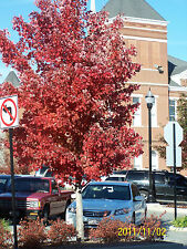 "1 Red Maple Trees(Acer Rubrum) 4"" container"