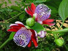 FRAGRANT GRANADILLA (Passiflora alata) - Fresh Seeds