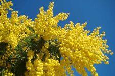GOLDEN MIMOSA Seeds Acacia Baileyana Yellow Wattle Tree Flower Seed 100 Seeds