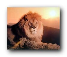 African Lion King At Sunset Wild Safari Animal Wall Decor Art Print (8x10)