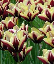 Tulip Bulbs Tulipa Flower Black White Perennial Triumph Fragrant Premium Plants