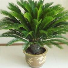 10 pcs/ bag,Cycas seeds, potted seed, flower seed