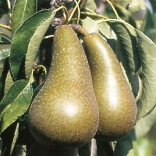 Pear Conference Fruit Tree Pyrus Communis Edible Garden Plant Cordon 8L pot