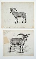 Jenny Wylie (XIX-XX) Ink drawings x 2 for Blackie and Son, Ovis, sheep, goats.