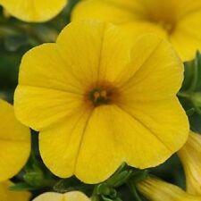 Calibrachoa Seeds Kabloom 25 Pelleted Seeds Yellow