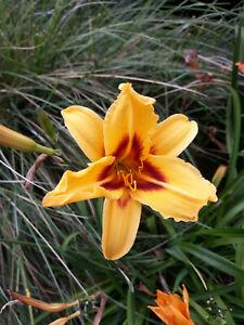 DAYLILY/Hemerocallis/ BONANZA Hardy Perennial