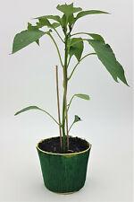 Chilipflanze Chili Pflanze Extremlang Joe´s Long  PT 12 cm / 1636182446
