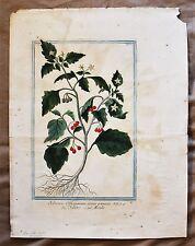 18th c. Botanical Hand Colored Engraving SOANUM OFFICINARUM / G. Bonelli 1772-93