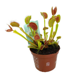 T&M Venus Fly Trap House Plants Carnivorous Dionaea Muscipula 1 or 3 x 9cm Pot