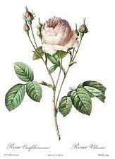 "1990 Vintage REDOUTE ROSE ""VILMORIN ROSE, CARNEA"" COLOR Art Print Lithograph"