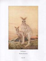 Hermoso Vintage Ave Estampado ~Canguro~ Book Of Bebé Beasts ~ Detmold