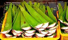 2 Lbs Fresh ALOE VERA Leaf (32 Oz), Barbadensis Miller,Fresh Cut - FREE Shipping