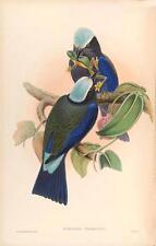 J Gould riproduzione BIRD print coracias temmincki da volatili dell' Asia. # 21