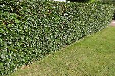 Rotbuchen 100-120cm 10st.Hecke Fagus sylvatica Heckenpflanze Rotbuche Sale %
