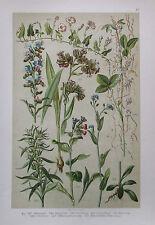 1896 BOTANISCHER DRUCK antique print Botanischer Bilder-Atlas Pflanze Botanik 47