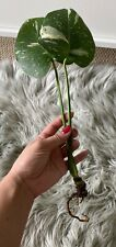 Variegated Monstera Thai Constellation Rooted Cutting(Us seller)