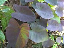 "COLOCASIA - BLACK MAGIC - ELEPHANT EAR - 4.5"" QUART POTS - LARGE - 1 LIVE PLANT"