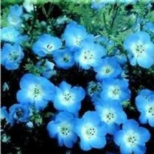 Nemophila - Menziesii (Baby Blue Eyes) - 500 Seeds