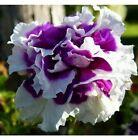 graines de rose trémieres Double Violet Et Blanc