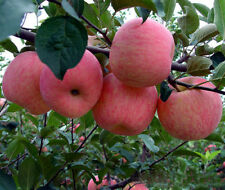 Bulk Seed 50 Mixed Sweet Apple Seed Malus For Garden Home Fruit Seeds S018