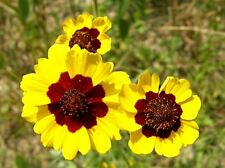 Heirloom 500 Seeds Plains Coreopsis tinctoria Tickseed Garden Flower Yellow Bulk