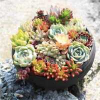 150Pcs Mixed Succulent Seeds Lithops Living Stones Plants Cactus Exotic
