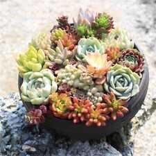 150Pcs Mixed Succulent Seeds Lithops Living Stones Plants Cactus Exotic H.US