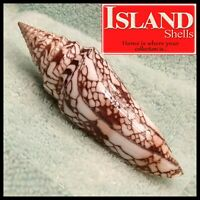 Conus Milneedwardsi 115.3mm BEAUTIFUL CHOICE RARE  SPECIMEN