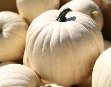 25 Lumina Pumpkin Seeds WHITE PUMPKIN