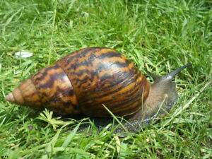 4 SNAILS, Achatina Tiger, Alive, Giant, Perfect Pets For Kids, 2 -3.5 cm