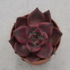 Echeveria agavoides 'Romeo' - Sukkulente von der Fachgärtnerei - Succulent