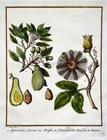 1770 Schley - Hand Coloured engraving - AVOCADO PASSION FRUIT