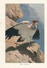 c1914 NATURAL HISTORY PRINT ~ KING VULTURE ~ LYDEKKER