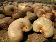 ANACARDIUM OCCIDENTALE 3 SEEDS CASHEW NUT TREE RARE TROPICAL FRUIT THAILAND