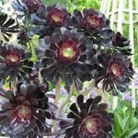 6 cuttings Aeonium Arboreum red/green  Cactus Succulents plant Rose cactus