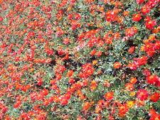 300 Wine Red Tetra Versailles Cosmos Bipinnatus Hummingbird Flower Seeds + Gift