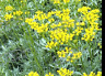 RUE 30 Seeds Medicinal Herb Garden REPELS INSECTS herbal tea COMPANION PLANTING