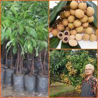 Dimocarpus Longan Grafted Tree, Dragon eye Tropical Fruit Thailand 20''