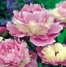 """PEONY PLANT ROOT """"SORBET"""" (NOT SEEDS) WITH EYES!"""