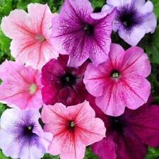 Flor - Petunia Express de la VENA Mix - 50 BOLITAS Semillas