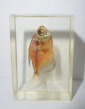 Black Widow Tetra Fish Gymnocorymbus ternetzi in Clear Block Education Specimen