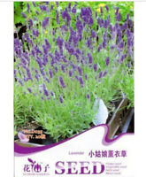 FD1266 Lavender Flower Herb Rare Seed Hot New ~1 Pack 20 Seeds~ Free Shipping